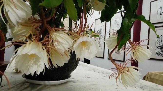 Ta roślina zakwita tylko na chwilę. <br />Królowa Jednej Nocy uwieczniona