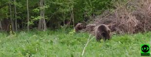 """""""Pierwszy raz widziałam niedźwiedzie tak dziko"""". Niecodzienne spotkanie w sercu Bieszczad"""