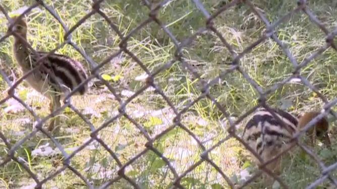 Sukces łódzkiego zoo. Na świat przyszły niespotykane w całej Europie młode kazuary