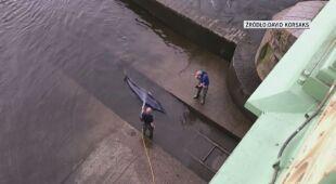 Wieloryb utknął w śluzie