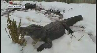 Aligatory w Kolorado wygrzewają się na śniegu
